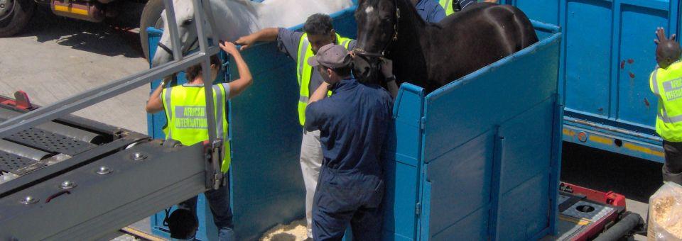 Loading of Horses 009